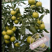 Enza Zaden Афамия F1 (AfamiaF1) семена томата индетерминантного для пленочных теплиц Enza Zaden, оригинальная упаковка (250 семян) АКЦИЯ