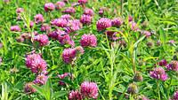 Трава Клевер (Конюшина) розовый, магниченый 10 кг