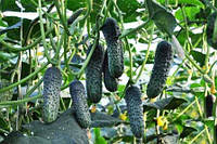 Огурец Лютояр F1 Yuksel Tohum 500 семян Турция