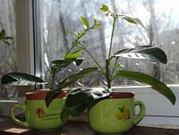 Лимон Киевский  высотой 25-40 см в чашке на подарок