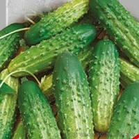Семена огурцов родничок F-1