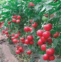 Семена томатов малиновое родео