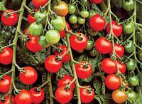 Семена томатов Черри Вишенка 1 кг , Польша