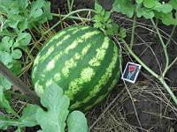 Семена арбуза Кримсон Свит 1 кг , Польша
