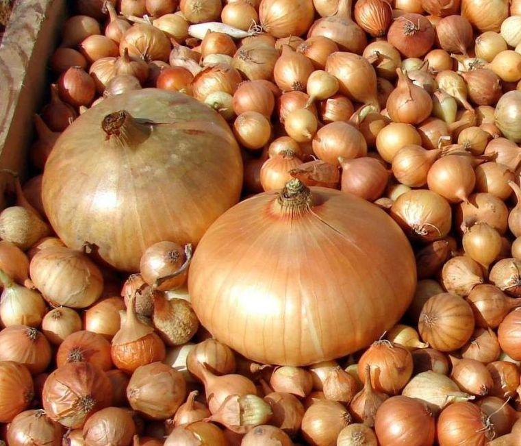 Семена лука Штутгартен Ризен 1 кг  , Украина