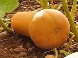 Семена тыквы Арабатская 1 кг , Украина