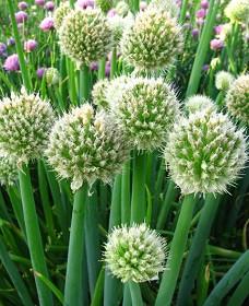 Семена лука Батун 1 кг , Украина