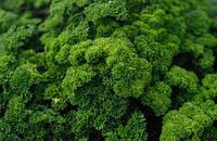 Семена петрушки кучерявой Moss Curled 2