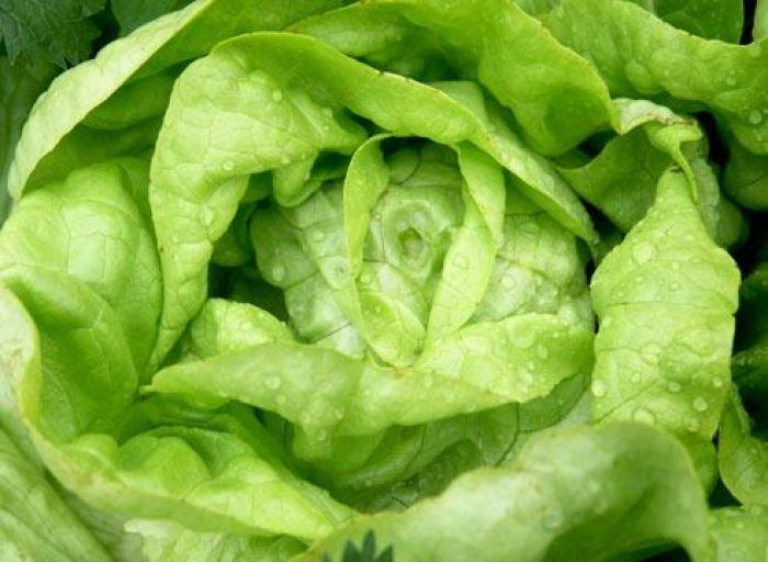Семена салата берлинский желтый 1 кг, Польша