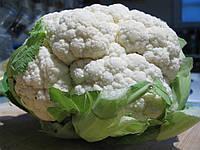 Семена цветной капусты Эрфуртер 1 кг , Польша
