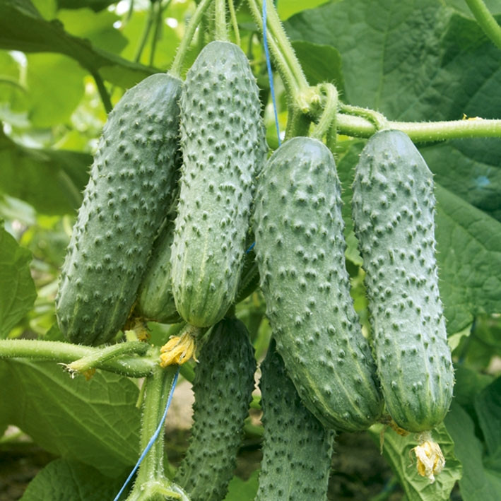 Семена огурцов Аладин F1 1 кг ,  Польша