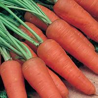 Семена моркови Шантанз Рэд Кор
