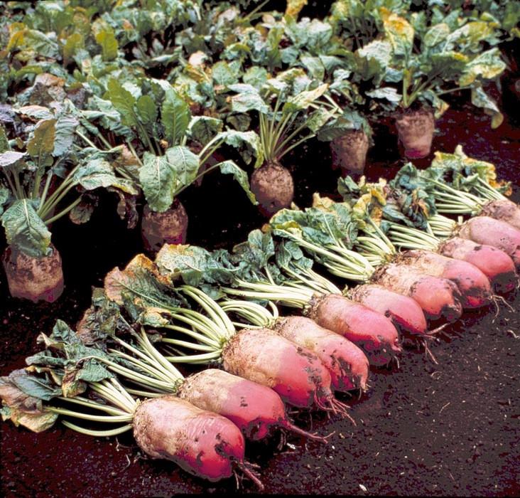 Семена кормовой свеклы Рекорд красный 1 кг , Польша