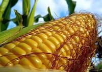 Семена кукурузы Дмитрик 1 кг , Польша