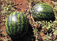 Семена арбуза Холодок 1 кг , Польша