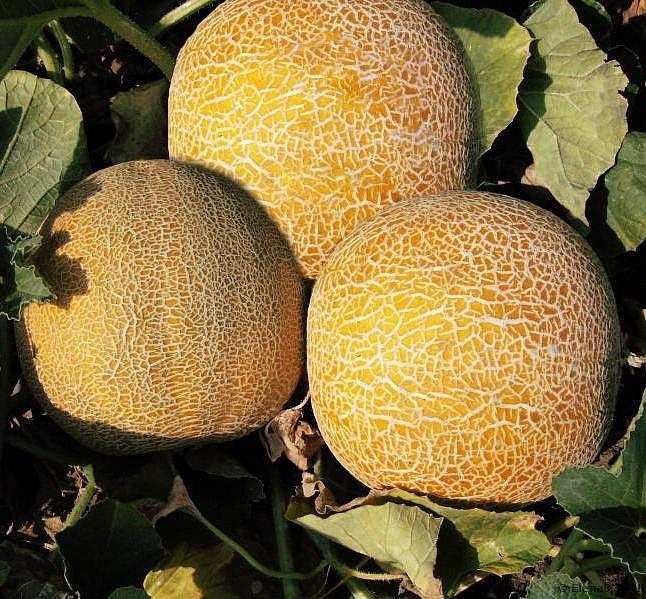 Семена дыни Колхозница 1 кг , Польша