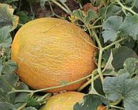 Семена дыни Приднестровская