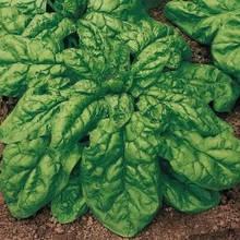 Семена шпината Матадор 1 кг , Польша