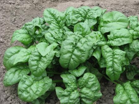Семена шпината  Зимний Гигант 1 кг , Польша