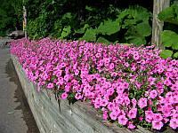 Семена петунии Розовая 1 кг , Польша