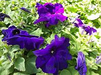 Семена петунии Фиолетовая 1 кг , Польша