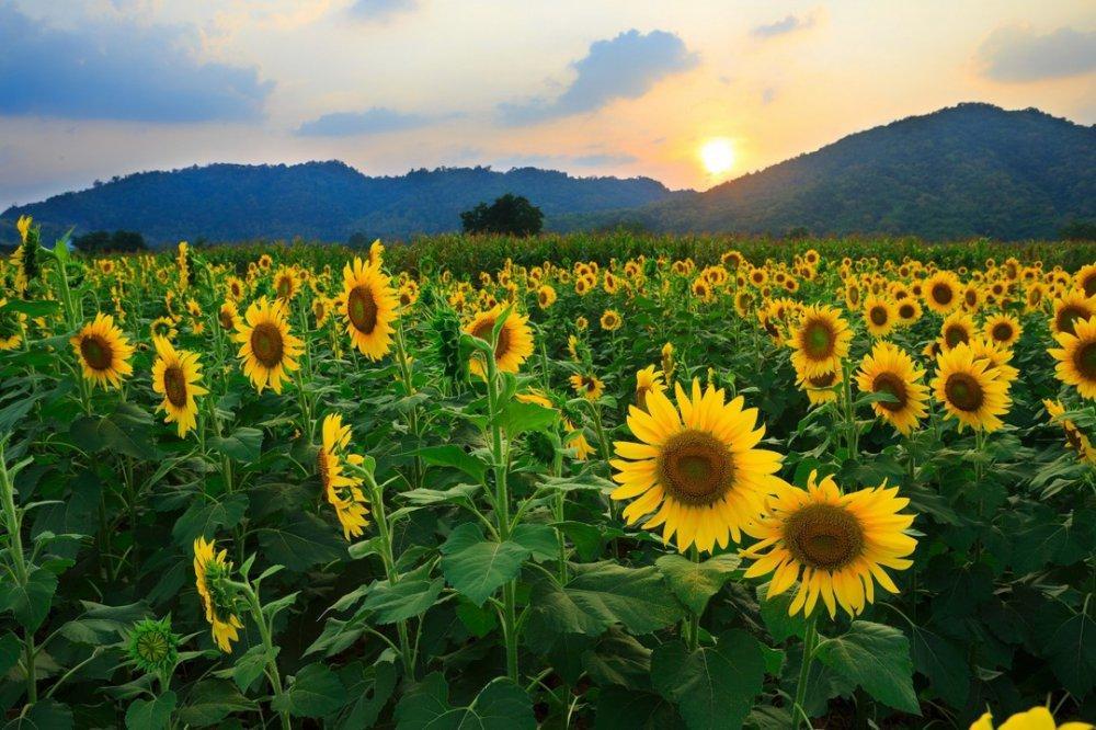 Семена подсолнуха высокорослый Золотое солнце