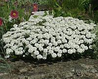 Cемена ибериса Белый 1 кг , Польша