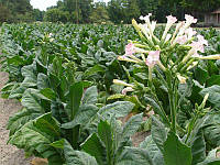 Семена Табак курительный 1 кг , Польша