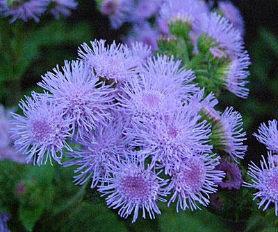 семена Агератум голубой 1 кг , Польша