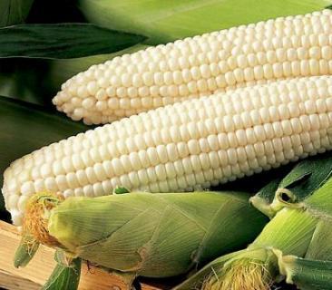 Семена кукурузы сахарной снежная королева , Украина
