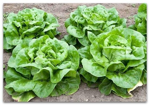 Семена салата Годар 1 кг  , Украина