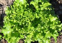 Семена салата Снежинка 1 кг , Польша