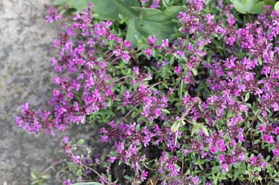 Тимьян ранний 'Purple Beauty' в горшке 9х9х10 см