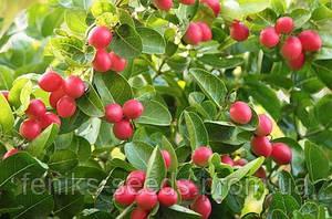 КАРИССА - молодое растение 30-50см