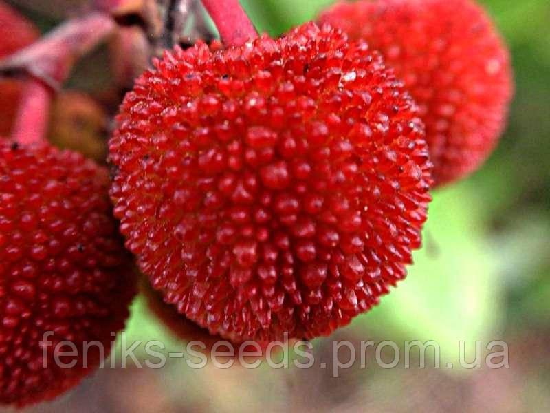 Земляничное Дерево - молодое растение 30-50см