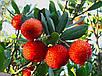 Земляничное Дерево - молодое растение 30-50см, фото 2