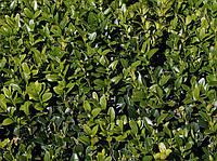 Самшит вечнозеленый BUXUS SEMPERVIRENS, фото 1