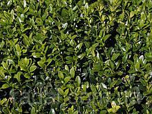 Самшит вечнозеленый BUXUS SEMPERVIRENS