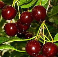 Саженцы вишни Лотовка