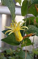 Пассифлора лимонная, фото 1