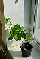 Маракуйя(пассифлора) до 1м в вазоне
