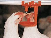 Ніпельні поїлки для птиці