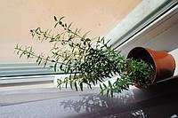 Мирт комнатный 20-30см в вазоне