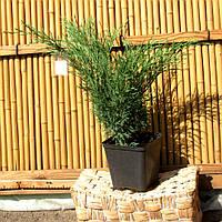 Ялівець горизонтальний - Juniperus  Andora compact