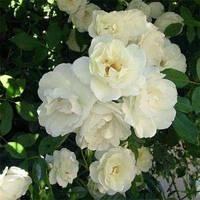 Авеню (Avenue) саджанці троянди поліантової білої Dekoplant
