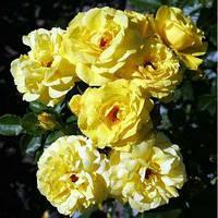 Фемелі (Family) саджанці троянди плетистої жовтої Dekoplant