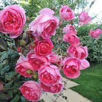 Фемелі (Family) саджанці троянди плетистої рожевої Dekoplant
