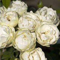 Фемелі (Family) саджанці троянди плетистої білої Dekoplant