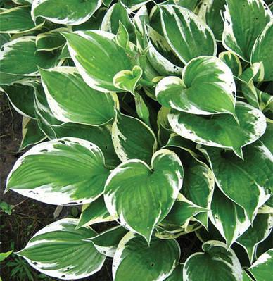 Хоста 'Undulata Albomarginata' в 2-литровом конт.