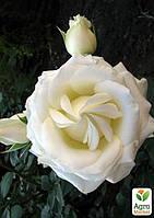 """Роза чайно-гибридная """"Боинг"""" (саженец класса АА+) высший сорт"""
